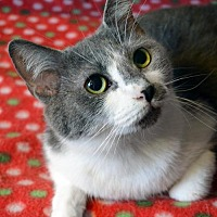 Domestic Shorthair Cat for adoption in Johnson City, Tennessee - Marta