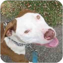 American Pit Bull Terrier Mix Puppy for adoption in Berkeley, California - Patches