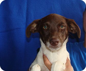 German Wirehaired Pointer/Australian Cattle Dog Mix Puppy for adoption in Oviedo, Florida - Daisy