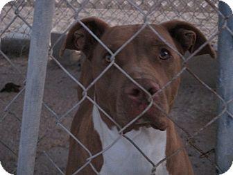 Pit Bull Terrier Mix Dog for adoption in Lancaster, California - Jake