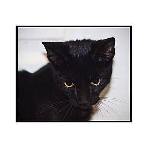Domestic Shorthair Kitten for adoption in Covington, Kentucky - Beetle Juice