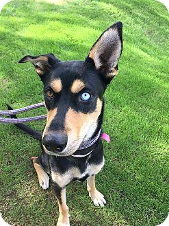 Australian Kelpie/Doberman Pinscher Mix Dog for adoption in Scottsdale, Arizona - Felicia