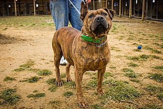 Pit Bull Terrier Mix Dog for adoption in Jasper, Alabama - Ol' Moma