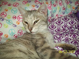 Calico Cat for adoption in Okmulgee, Oklahoma - Sylvie