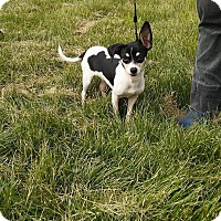 Jack Russell Terrier Mix Dog for adoption in WESTMINSTER, Maryland - Moo Moo
