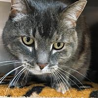Adopt A Pet :: Izzy - Woodhaven, MI