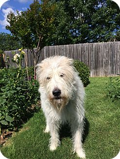 Great Pyrenees/Fox Terrier (Wirehaired) Mix Dog for adoption in Royse City, Texas - Annie
