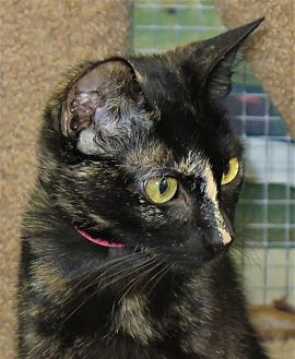 Domestic Shorthair Cat for adoption in Gonzales, Texas - Raffles
