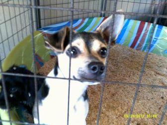 Corgi Mix Dog for adoption in Opelousas, Louisiana - Thor