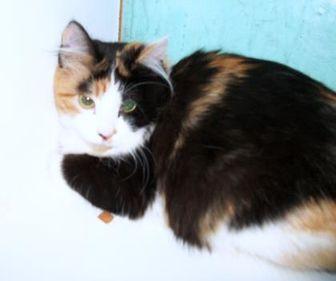 Domestic Shorthair/Domestic Shorthair Mix Cat for adoption in Clinton, Missouri - Audrey