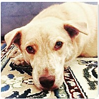 Adopt A Pet :: Tiger (avail 7/27) - Sanford, NC