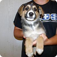 Adopt A Pet :: GSD PUPS D - Corona, CA
