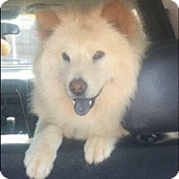 Chow Chow Mix Dog for adoption in Miami, Florida - Max