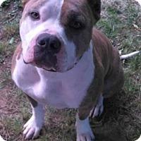 Adopt A Pet :: Tytan- Guest Dog - Dallas, TX