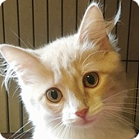 Domestic Mediumhair Kitten for adoption in North Wilkesboro, North Carolina - Callista