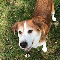 Collie/Golden Retriever Mix Dog for adoption in Sharon Center, Ohio - Regina