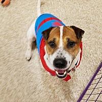 Adopt A Pet :: Butch - San Tan Valley, AZ