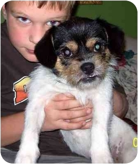 Jack Russell Terrier Mix Dog for adoption in Osseo, Minnesota - Kimmie