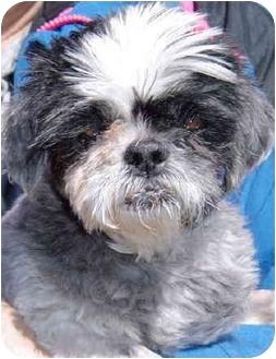 Shih Tzu Dog for adoption in Grass Valley, California - Mildred
