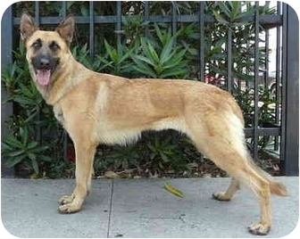 German Shepherd Dog/Belgian Malinois Mix Dog for adoption in Los Angeles, California - Roxy von Rosenblatt