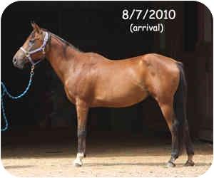 Arabian for adoption in Pittsville, Wisconsin - Hailey