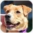 Photo 1 - Labrador Retriever Mix Puppy for adoption in Berkeley, California - Drake