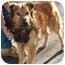 Photo 2 - German Shepherd Dog/Chow Chow Mix Dog for adoption in Rolling Hills Estates, California - Bosco