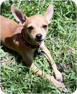 Chihuahua Mix Puppy for adoption in AUSTIN, Texas - VALENTINA