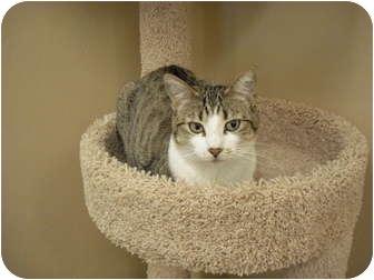Domestic Shorthair Cat for adoption in Wickenburg, Arizona - CC