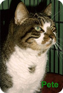 Domestic Shorthair Cat for adoption in Medway, Massachusetts - Pete
