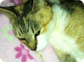 Domestic Shorthair Cat for adoption in Sarasota, Florida - Callie
