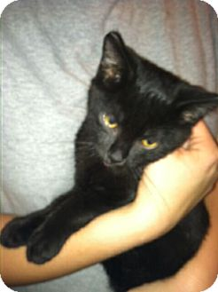 Domestic Shorthair Kitten for adoption in Chesterfield, Virginia - Coal