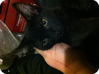 Domestic Shorthair Kitten for adoption in Pittstown, New Jersey - Larry