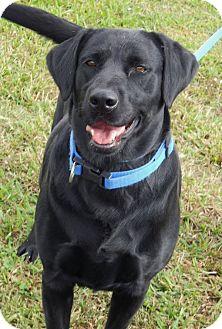 Labrador Retriever Dog for adoption in Coppell, Texas - Merri