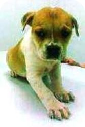 Boxer/English Bulldog Mix Puppy for adoption in Media, Pennsylvania - Violet