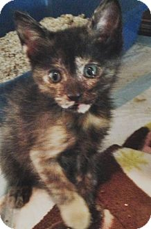 Domestic Shorthair Kitten for adoption in Harvey, Louisiana - Karmin