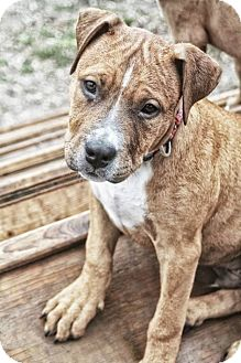Boxer/American Staffordshire Terrier Mix Puppy for adoption in West Allis, Wisconsin - Bugsy
