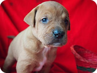 Boxer Mix Puppy for adoption in Louisville, Kentucky - Bear
