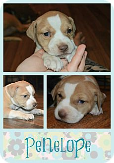 American Bulldog Mix Puppy for adoption in Clovis, New Mexico - Penelope