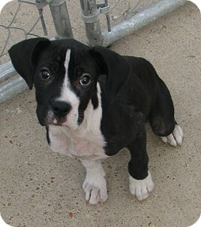 Boxer/Great Dane Mix Puppy for adoption in CHICAGO, Illinois - SUMMER