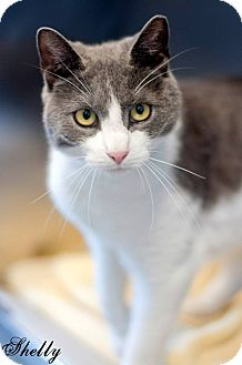 Domestic Shorthair Cat for adoption in Manahawkin, New Jersey - Shelly