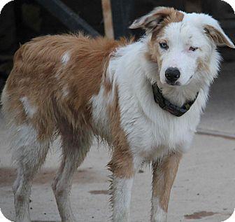 Anatolian Shepherd/Border Collie Mix Dog for adoption in Yuba City, California - Gibson