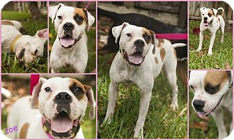 Boxer/American Bulldog Mix Dog for adoption in Homestead, Florida - Zoe