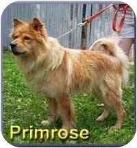 Golden Retriever Mix Dog for adoption in Aldie, Virginia - Primrose