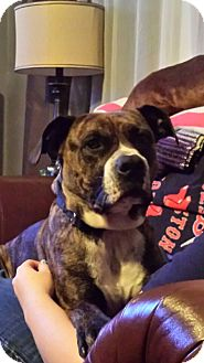 American Staffordshire Terrier Mix Dog for adoption in Homer, New York - Zeus