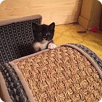 Adopt A Pet :: Jaspurr - Cranford/Rartian, NJ