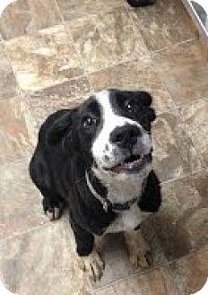 Labrador Retriever Mix Puppy for adoption in Darlington, South Carolina - Andy- URGENT