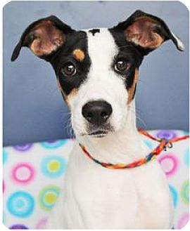 Fox Terrier (Wirehaired) Mix Dog for adoption in Red Bluff, California - Mickey