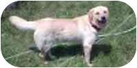 Golden Retriever/Labrador Retriever Mix Dog for adoption in Cole Camp, Missouri - Jerry