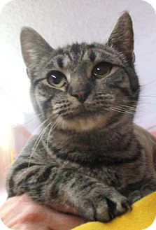 Domestic Shorthair Kitten for adoption in Reeds Spring, Missouri - Ashleigh